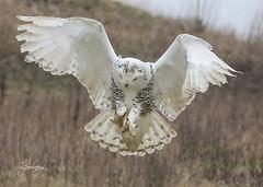 Focus (slsjourneys) Tags: snowyowl owl