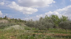 Au pays des oliviers (Titole) Tags: oliviers provence puyloubier titole nicolefaton maison fields vineyard wildflowers clouds sky olivetrees