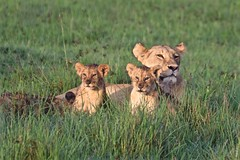 Six Ears (The Spirit of the World) Tags: lions cubs lioness grass masaimara kenya nationalpark park eastafrica africa nature wildlife safari gamedrive portrait morning predator pride ngc npc