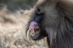 Gelada lip flip (Tim Melling) Tags: theropithecus gelada lip flip threat display simien mountains timmelling ethiopia