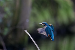 Kingfisher Landing (bloedmann999) Tags: bird eisvogel kingfisher