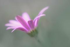 Lyrique (christophe.laigle) Tags: rose fleur macro xf60mm nature flower fuji lyrique lumière xpro2 pink christophelaigle macrounlimited bokeh