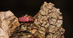 Red Flat Bark Beetle (Cucujus clavipes clavipes Fabricius ) (Bonnie Ott) Tags: redflatbarkbeetle cucujusclavipesclavipesfabricius daniels ellicottcityquad