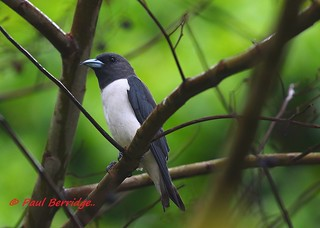 White-breasted Woodswallow. Artamus leucorynchus