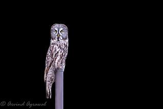 Great Grey Owl - IMG_0151-1