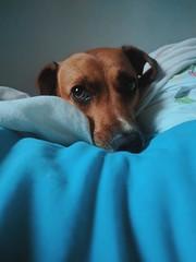 preguiça (glhrme) Tags: dog pet semraçadefinida srd mutt nexus6p bed