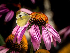 Life is 10% of what happens to you and 90% of how you react to it..  . (knoxnc) Tags: kindness coneflower vernon nikon dc butterfly sunlight mt bokeh d7200 beautiful