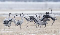 Joy of Cranes (Jyrki Liikanen) Tags: naturephotography nature naturephoto wildlife wildlifephotography wildnature wildbird crane cranes bird birds spring springtime springlandscape herd jump jumping joy happiness