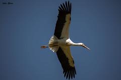 Cuando la cigüeña vuela bajo.... (Jotha Garcia) Tags: monteprincipe madrid españa cigüeña stork spain pájaro bird vuelo nikkor5502000mmf4056 nikond3200 jothagarcia 2017 spring primavera april abril