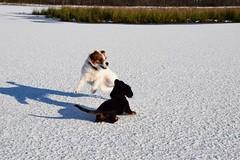 2017-03-23_02-18-28 (andreadresemann) Tags: hund parsonjackrussel terrier mydog dog haustier