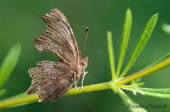 Robert-le-Diable, le Gamma (Corinne Ménardi) Tags: nymphalidae nymphalinae papillondejour polygoniacalbumlinnaeus1758 rhopalocères robertlediable