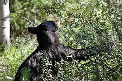 Jasper National Park, Canada (leo_li's Photography) Tags: parcnationaljasper bear jaspernationalpark alberta canada 加拿大 亞伯達省 canadianrockymountains rockymountains 洛磯山脈 野生動物 wildlife 亞伯達 艾伯塔省 艾伯塔