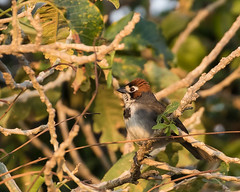 Prevost's Ground-Sparrow (J.B. Churchill) Tags: birds costarica heredia hotelbougainvillea prgs places prevostsgroundsparrow sparrowstowhees taxonomy santodomingo cr