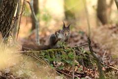 IMG_2096 (marianabmcruz) Tags: parquebiológicodegaia parquebiológico biologicalpark outdoors outdoor nature natureza animal animals fauna esquilo squirrel squirrels