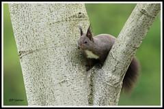 Ecureuil 170418-04-P (paul.vetter) Tags: écureuil sciuridé rongeur mammifère squirrel ardilla eichhörnchen
