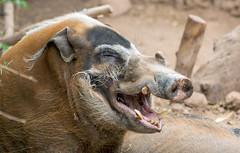 J77A7739 -- A smiling Warthog in Oudtshoorn, South Africa (Nils Axel Braathen) Tags: vlakvark