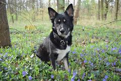 Fili - flower power (mikros.anthropos) Tags: fili dog hund crossbreed mix mutt mischling tier animal husky australianshepherd bordercollie hollandseherder nikond3300 outdoor berlin wuhlheide