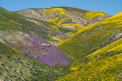 Spilled Paint (Kurt Lawson) Tags: bloom blue california carrizo desert green monument mountains national paint plain purple range sky spilled super superbloom temblor wildflowers yellow