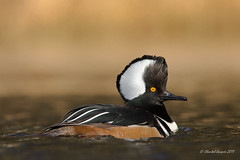 Looking for new hairdo inspiration? (Chantal Jacques Photography) Tags: hoodedmerganser duck wildandfree nature bokeh wildlife seductionmode hairdoinspiration male