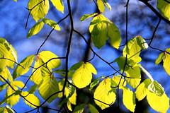 Fresh Foilage (acwills2014) Tags: spring foilage leaves green tender backlit blueskysky blue abstract sunlight transparant