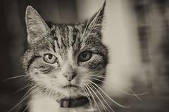 Tizzy Portrait (John Fenner) Tags: nikon d750 nikkor 50mm f18 afd prime cat tabby portrait whiskers domectic pet black white bw mono bokeh