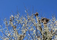 IMG_3837 Cherry blossoms and storks (pinktigger) Tags: stork cigüeña storch cicogne ooievaar ciconiaciconia cicogna cegonha bird nature fagagna feagne friuli italy italia oasideiquadris animal outdoor tree nest flowers white spring cherryblossoms
