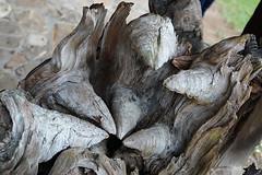 Nozes (dotcomdotbr) Tags: sony alpha a77 viagem rs canela gramado natureza sal1650 madeira tronco árvore nós