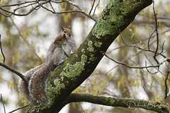 Awwww, springtime! (dbifulco) Tags: copulating easterngraysquirrel mating nature newjersey pair rodent spring two wildlife yard