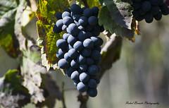 Nashik Grapes (rahulboraste) Tags: rahulborastephotography nature grapes grape grapesgarden wineyards winary ngc