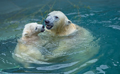 Bathing polar bears (♥Oxygen♥) Tags: animal bear mother polar cub pool zoo wild bathing mammal north motherhood peace basin love family childhood kid wildlife white happiness tenderness arctic water nature mom hug cute mum baby suckler protection mummy bath face wildbeauty sweet eco unity ecology portrait young familyportrait care safety parenting lovely embrace outdoor bite