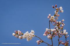 Cherry blossoms 4749 (Paul Henman) Tags: toronto highpark 2017 torontophotowalks cherryblossoms paulhenman topwrs ontario canada paulhenmanphotographyca topw photowalk httppaulhenmanphotographyca