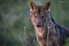 Mirada (Lagier01) Tags: fauna lobo mamiferos mundopark nature animales naturaleza