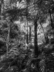 mount lofty botanic garden - 1505 (liam.jon_d) Tags: dicksoniaantarctica mono adelaidehills arty australia australian autumn autumnal bw billdoyle blackandwhite botanicgarden dicksonia fall fern ferngully gully monochrome mountloftybotanicgarden mountloftyranges mtloftybotanicgarden mtloftyranges outdoor outside sa southaustralia southaustralian wet