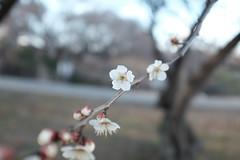 (Minami45) Tags: x100t fujifilm flower plumblossoms white life camera japan tokyo spring bokeh