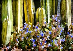 THE DESERT BLOOMS (Irene2727) Tags: cactus cacti thorns green flowers wildflowers nature flora stilllife still botany outside