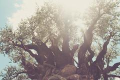 The Tree of Life (kronbron) Tags: waltdisneyworld disneysanimalkingdom treeoflife