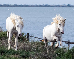 2016 Best Two Camargue Stallions (18) (maskirovka77) Tags: saintlaurentdaigouze languedocroussillonmidipyrén france languedocroussillonmidipyrénées fr stallion stallions createaway