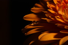 Gerbera zum Ersten (tobltatze) Tags: makro marcos flower extremnear microscopic mikroskopisch blume blüte blossom