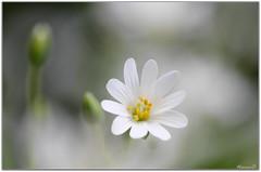 Plaisir du jour... (Nanouch@) Tags: nature naturaleza fleur fleurs bokeh douceur flores flor flower flowers sweetness