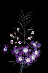 Leptospermum 2 (C. Burrows) Tags: uvivf glowing nature flower manuka teatree