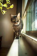 Watcher of the Window **Explored** (flashfix) Tags: march302017 2017inphotos ottawa ontario canada canon canoneos5dmarkii 5dmarkii 17mm40mm plant sunlight cat mouse feline paws window sill lines natural naturallighting portrait flashfix flashfixphotography