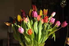 Besuch am 13., dem Gründonnerstag (16) (Chironius) Tags: privat blüte blossom flower fleur flor fiore blüten цветок цветение liliales lilienartige liliengewächse liliaceae lilioideae tulpen tulipa rot stapelholm bergenhusen