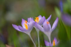 IMG_93 (schaffnerjoggl) Tags: frühling blüten bunt farben hermannshof schausichtungsgarten weinheim deutschland krokus