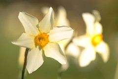 Narcissus ×medioluteus (Henry Hemming) Tags: narcissus×medioluteus narcissus daffodil garden spring bulb sun shine bright