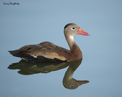 Black bellied Whistling duck.......D800 (Larry Daugherty ~ Very Slow for several days :-)) Tags: blackbelliedwhistlingduck whistlingduck duck water fowl anamalia chordata aves neornithes neognathae galloanserae anseriformes anatidae dendrocygninae dendrocrygna dautumnalis dendrocygnaautumnalis ngc
