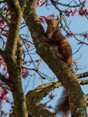 Kiekeboe ... (doevos) Tags: aoustesursye drôme eekhoorn eichhörnchen eurasianredsquirrel sciurusvulgaris squirrel gewoneeekhoorn redsquirrel rodeeekhoorn écureuil