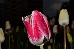 DSC_0360 (Me now0) Tags: tulips лалета europe afternoon spring park nikond5300 basiclens 1855mmf3556 никонд5300 насекомо юженпарк софиябългарияевропа китовобектив apertureƒ360