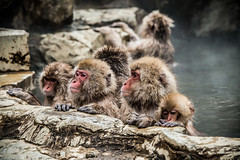Nagano - Jigokudani - 21 (coopertje) Tags: japan nagano snowmonkey monkey jigokudanimonkeypark jigokudanijaenkoen sneeuw snow sneeuwmakaak macaque japanesemacaque cold onsen hottub hotspring water