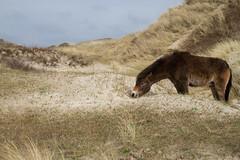 Noordhollands Duinreservaat (Thea Teijgeler) Tags: duinen dune sandhill landscape landschap duinreservaat dunereserve paard horse bergenaanzee pony