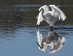 More of a Sploosh then a splonk (christinaportphotography) Tags: littleegret egrettagarzetta egret woywoy centralcoast nsw australia bird birds wild free white fishing